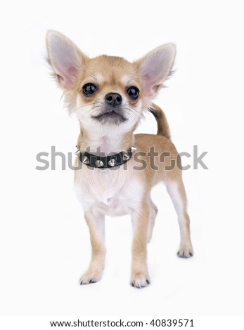 small self-confident Chihuahua puppy portrait with black leather studded collar standing on white background   - stock photo