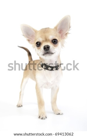 Small self-confident Chihuahua puppy with black leather studded collar standing on white background - stock photo