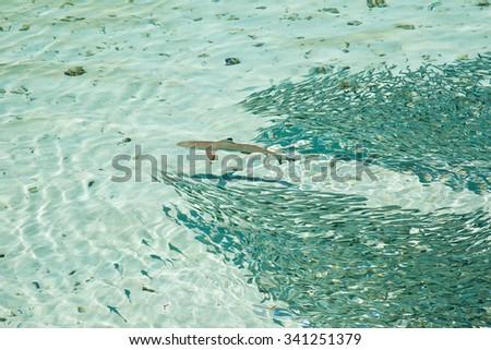 Small shark cross school of fish in clean water of Indian Ocean - stock photo