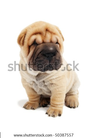 small sharpei puppy in sitting position isolated on white - stock photo