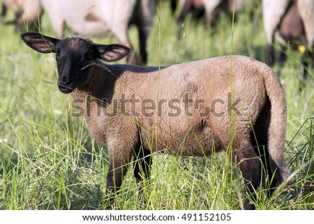 Small sheep
