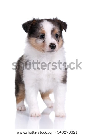 Small Sheltie puppy on a white background