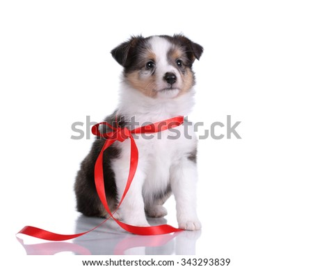 Small Sheltie puppy with red ribbon on a white background - stock photo