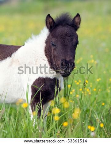 small shetland foal pony in field - stock photo