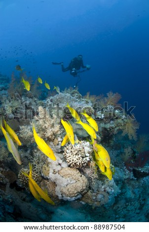 Small shoal of Yellowfin goatfish (parupeneus cyclostomus) with scuba diver silhouette in the background. Jackson reef, Straits of Tiran, Red Sea, Egypt. - stock photo