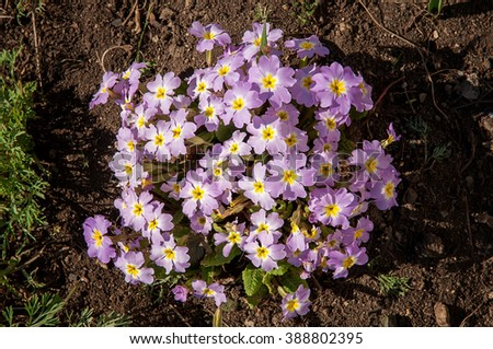 Small shrubs spring garden flowers evening primrose, Primula - stock photo