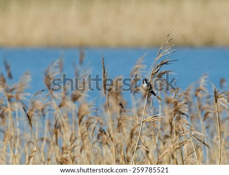 Small shy bird Male Bearded Tit or Bearded Reedling at Pett Level, East Sussex. - stock photo