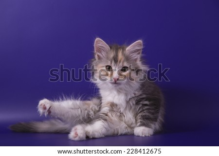 Small Siberian kitten on blue violet background. Cat lie with. - stock photo