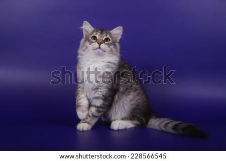 Small Siberian kitten on blue violet background.Cat sitting.Cat growls. - stock photo