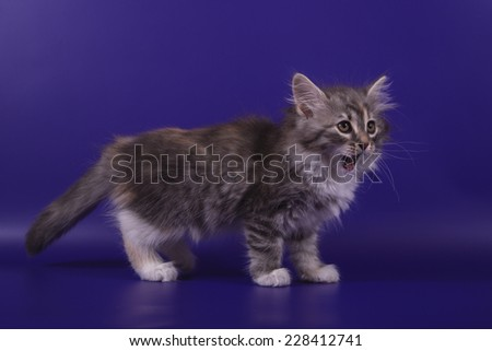 Small Siberian kitten on blue violet background. Cat stand. - stock photo
