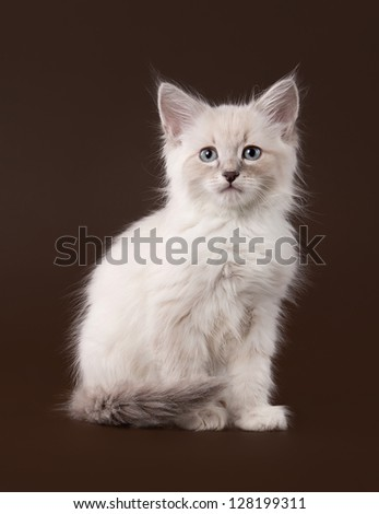 small siberian kitten on dark brown background