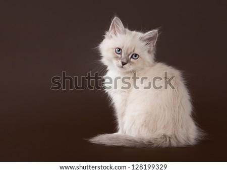 small siberian kitten on dark brown background - stock photo