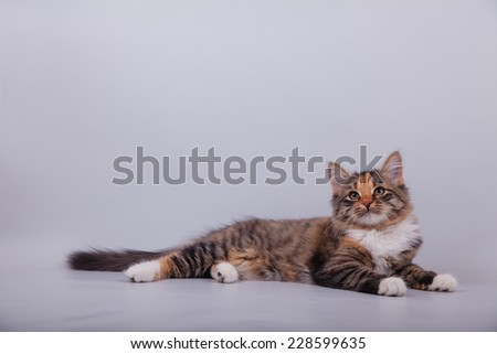 Small Siberian kitten on grey background. Cat lie with. - stock photo