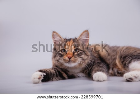 Small Siberian kitten on grey background. Cat lie with.