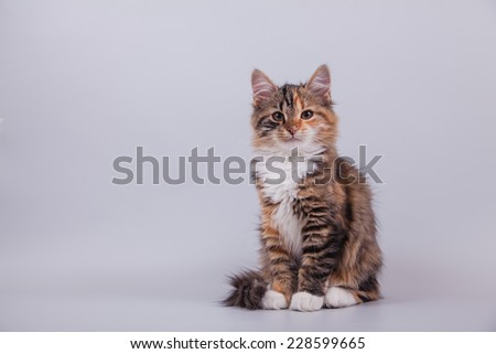 Small Siberian kitten on grey background. Cat sitting. - stock photo