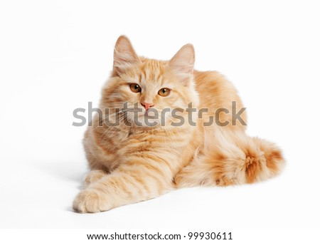 small siberian kitten on white background - stock photo