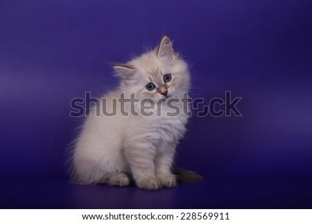 Small Siberian Neva Masquerade kitten on blue violet background. Cat sitting. - stock photo