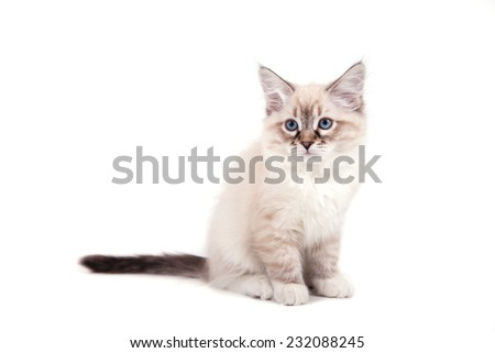 Small Siberian Neva Masquerade kitten on white background. Cat sitting.
