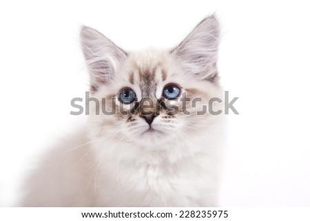 Small Siberian Neva Masquerade kitten on white background. Cat sitting. Portrait of a cat. - stock photo