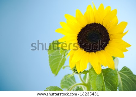 Small single sunflower against blue background