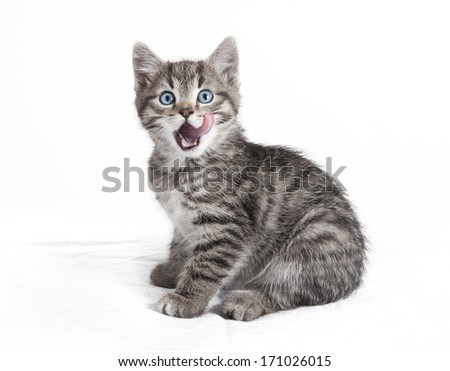 small sitting cat, licking with the tongue over mouth, white background, isolated - stock photo