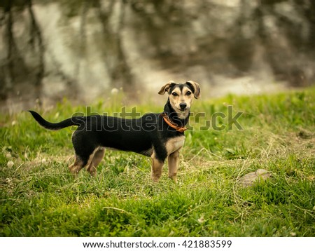 Small size black dog standing on green grass near river or lake reflecting water - stock photo