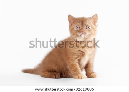 Small sorrel tortie british kitten on  white background