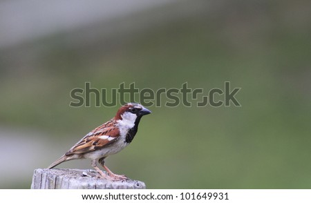 Small Sparrow perched on post - stock photo