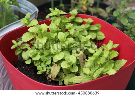 Small spearmint  herb plant growing in a pot - stock photo
