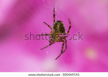 Small spider, very shallow depth of field, in the background a pink flower.
