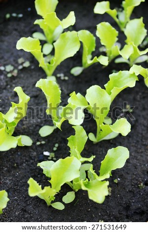 Small sprouts lettuce sprout in the ground - stock photo