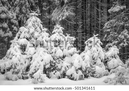 small spruces under snow look like snowdrifts