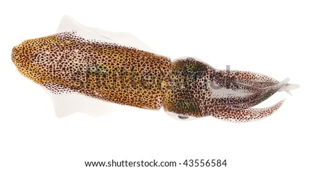 small squid from Red Sea isolated on white - stock photo