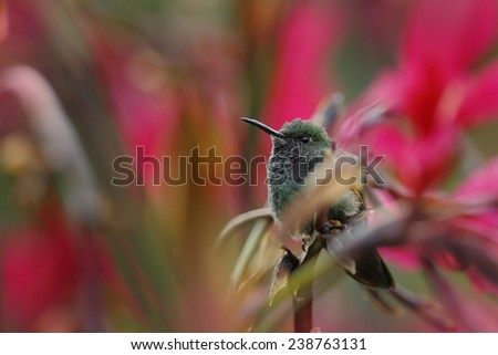 Small Stripe-tailed Hummingbird sitting on the flower with red background  - stock photo