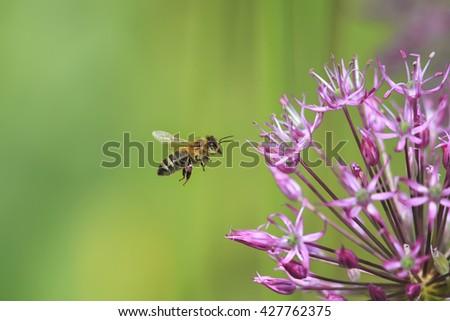 small striped bee flies round purple flower - stock photo