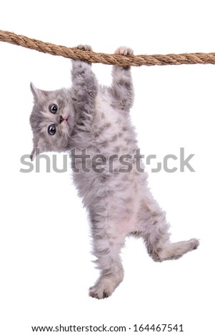 small striped kitten Scottish tabby breed. animal hanging on a rope isolated on white background - stock photo