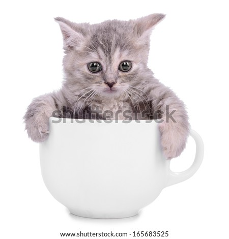 small striped kitten Scottish tabby breed. animal in a ceramic cup on white background - stock photo
