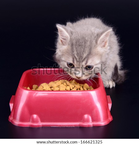 small striped Scottish kitten eat diet food. animal isolated on black background