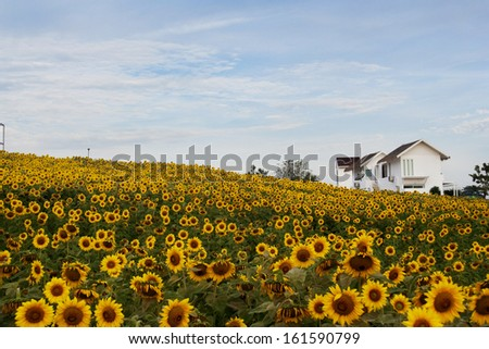 Small sun flowers field in Thailand