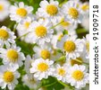 Small sunny chamomile flowers close-up - stock photo