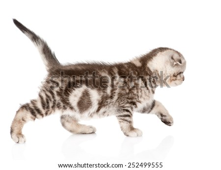 small tabby cat walking. isolated on white background - stock photo