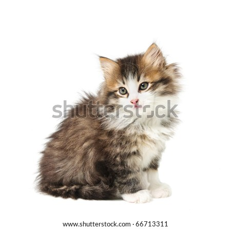 Small tabby fluffy  kitten isolated on white background - stock photo
