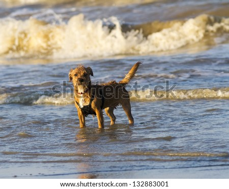 Small terrier dog standing in the sea watching her owner, on a evening stroll. - stock photo