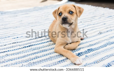 Small Terrier Mix Puppy Sitting Outside on Blue Striped Rag Rug - stock photo