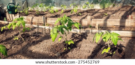 small tomatoe seedlings growing in old greenhouse - stock photo