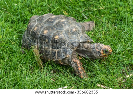 Small Tortoise - stock photo