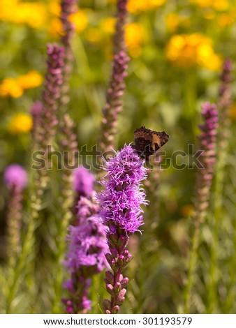 small tortoiseshell (aglais urticae ) butterfly sitting on a purple flower - stock photo
