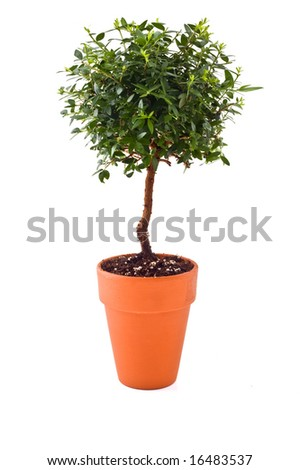 "small tree in a ""Terra cotta""  pot isolated on white - stock photo"