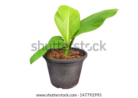 Small tree in black pot isolated on white