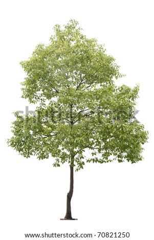 small tree isolated on white - stock photo